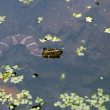 Stock Photo: Northern water snake