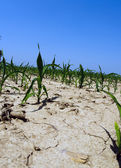 Drought conditions in Illinois corn field — 图库照片