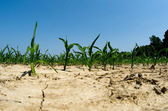 Drought conditions in Illinois corn field — Stock Photo