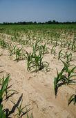 Drought conditions in Illinois corn field — Stock Photo