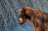 Alaskan brown bear fishing for salmon — Stock Photo