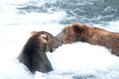 Two large Alaskan brown bears fighting in the water — Stock Photo
