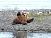 Alaskan brown bear resting — Stock Photo