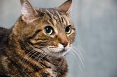 Adult tabby cat — Stock Photo