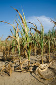 Drought damaged corn — Stock Photo