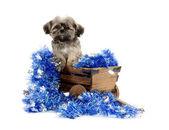 Shih tzu puppy in wagon — Stock Photo