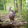 Stock Photo: White-tailed deer buck