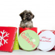 Shih tzu puppy in Christmas box — Photo