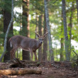 Large white-tailed deer buck — ストック写真