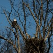 Bald eagle nest - Stock Photo