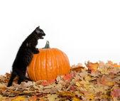Black kitten and pumpkin — Stock Photo