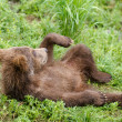 Stock Photo: Alaskbrown bear cub