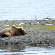Stock Photo: Alaskan brown bear resting