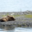 Stock Photo: Alaskbrown bear resting