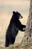 American black bear cub — Stock Photo