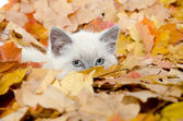 Cute kitten hiding in leaves — Stock Photo