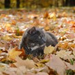 Stock Photo: Cat in fall leaves