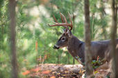 Große Whitetail deer — Stockfoto