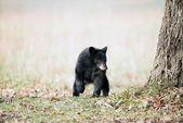Cachorro de oso negro — Foto de Stock