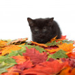 Black kitten and leaves — Stock Photo