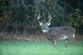 Large whitetail deer — Stock Photo