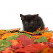Stock Photo: Black kitten and leaves
