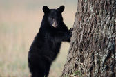 American black bear cub — Stock Photo