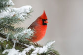 Northern cardinal perched in a tree — Stock Photo