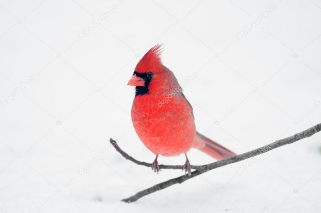 Northern cardinal perched on a stick following a heavy winter snowstorm — Stock Photo #18274295