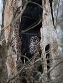 Barred owl in a dead tree — Stock Photo