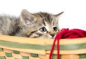 Carino gattino tabby nel cestino — Foto Stock