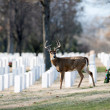White-tailed Deer Buck In cemetery — Photo