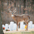 White-tailed deer buck in cemetery — Stock Photo #20005929