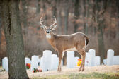 White-tailed deer buck in cemetery — Stock Photo