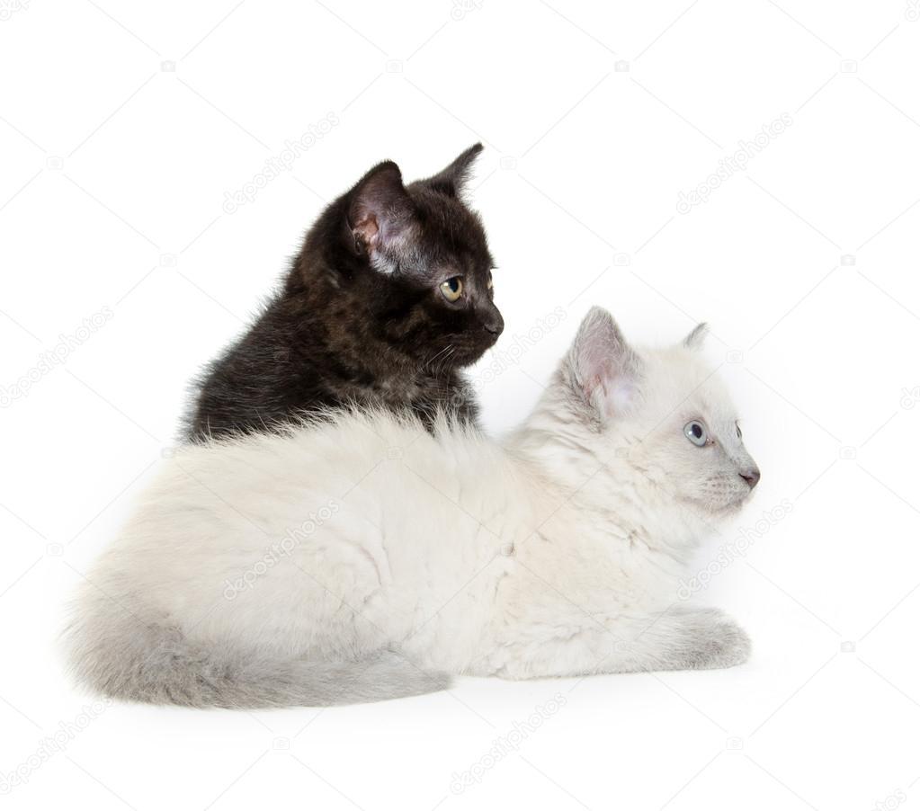 两个可爱宝贝小猫休息的白色背景上