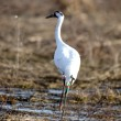 Endangered whooping crane — Stock Photo