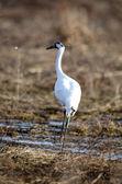 Endangered whooping crane — Stock Photo