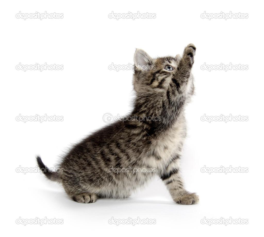 可爱的小宝贝虎斑小猫在白色背景上播放