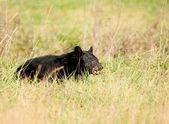 Large black bear feeding — Stock Photo