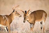White-tailed deer bucks sparring — Stock Photo