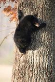 Amerikalı siyah ayı yavrusu — Stok fotoğraf