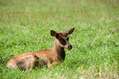 American elk calf — Foto de Stock