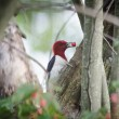 Red-headed woodpecker — Stock Photo #27313321