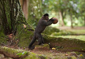 Tufted Capuchin breaking coconut — Stock Photo