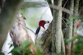 Red-headed woodpecker — Stock Photo