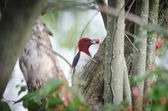 Red-headed woodpecker — Stock Photo