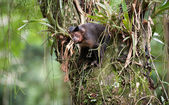 Tufted Capuchin in a tree — Stock Photo