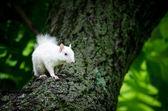 White squirrel — Stock Photo