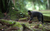 Tuftade capuchin med en kokosnöt — Stockfoto