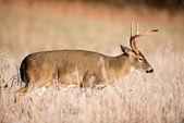 Vitsvanshjort spänn sparring — Stockfoto